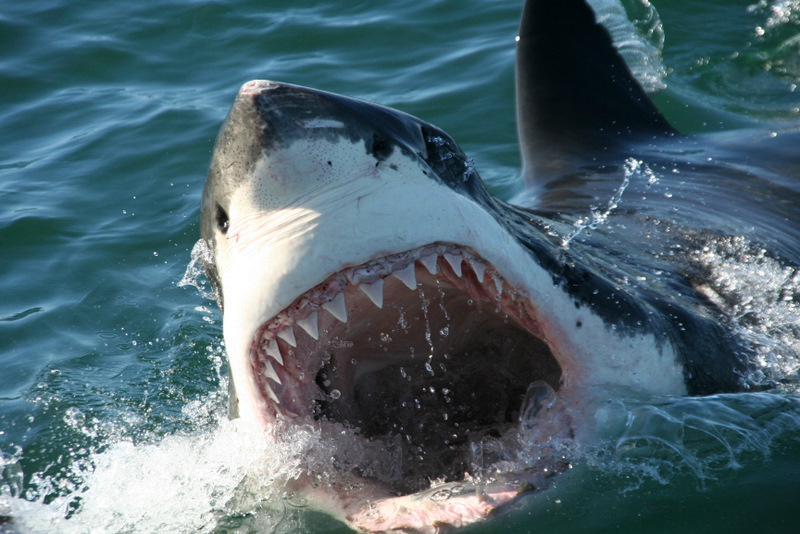 images of great white sharks - photo #40