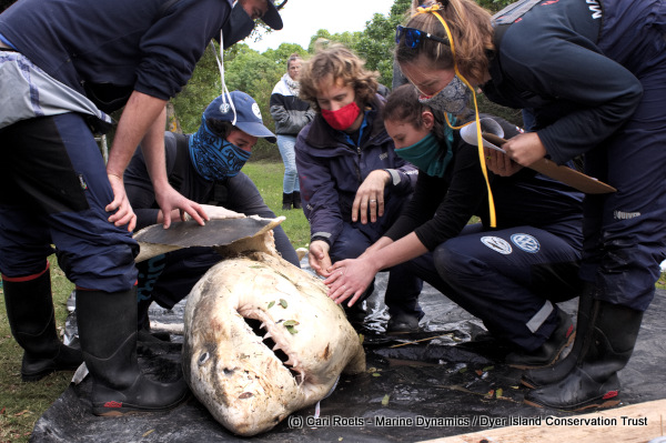Marine biologists inspecting the Great White shark carcass