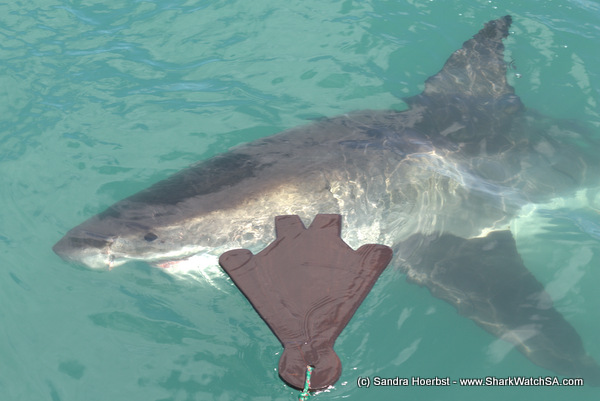 Great White Shark Size | Daily Blog 03 February 2017 Trip 1 2 Great White Shark Diving