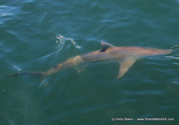 daily blog shark diving south africa if you are looking to get up close and personal the great white shark then shark diving in south africa and more specifically marine dynamics