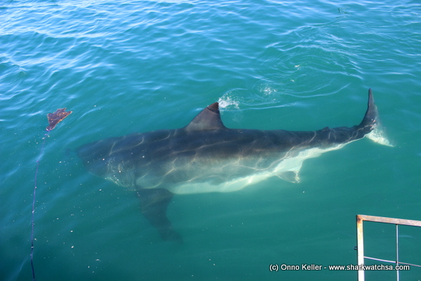 Massive female Great White Shark in Gansbaai waters - 12 May 2015