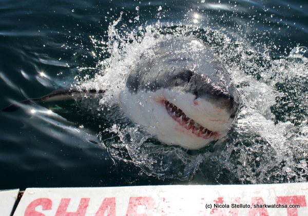 white shark cage diving south africa