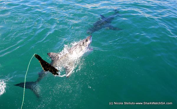 The great white shark / El gran tiburon blanco: imagen de tiburon ...